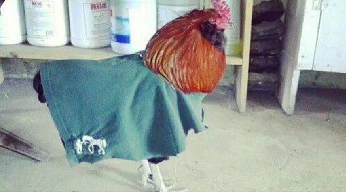 This rooster was beheaded, de-feathered and eaten. Police want to know where the alleged Fowlers are located.