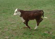stolen cows