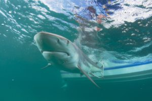 FAU Shark migration
